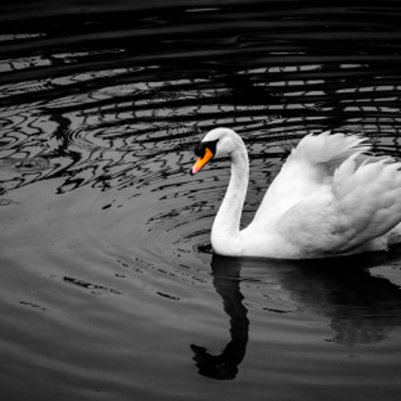 Swan and ripples, Nikon 1 S2, 1 NIKKOR VR 30-110mm f/3.8-5.6