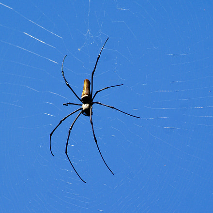 Spider from Bali 2, Sony DSLR-A300, Sony DT 55-200mm F4-5.6 (SAL55200)