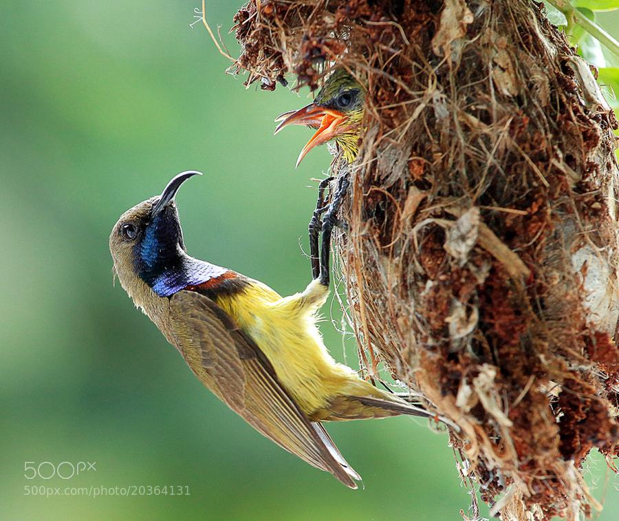 Photograph Sun-Bird Family by Prachit Punyapor on 500px