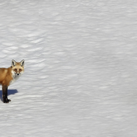 The Fox, Canon EOS 5D MARK III, Canon EF 400mm f/2.8L IS II USM