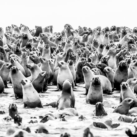 Cape Fur Seal Colony, Pentax K100D, Sigma EX APO 100-300mm F4 IF