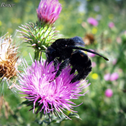 Bumble bee collecting, Canon POWERSHOT A650 IS