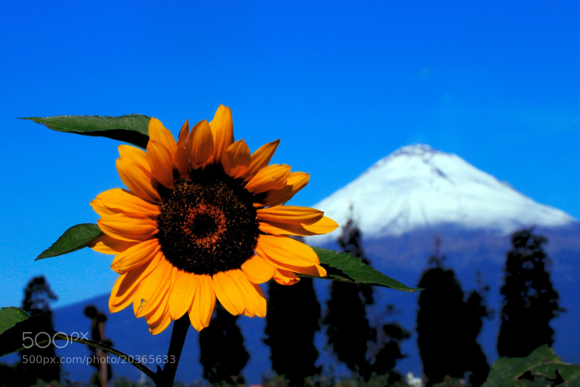 Photograph Sunflower and volcano by Cristobal Garciaferro Rubio on 500px