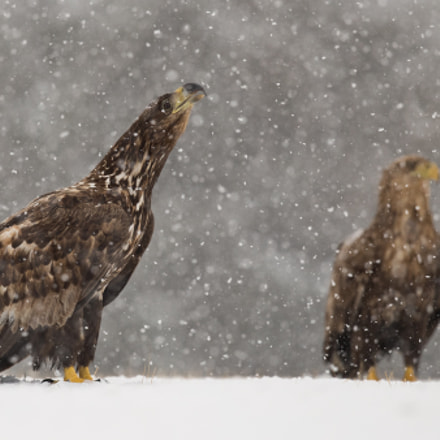Eagle in snow, Canon EOS-1D X MARK II, Canon EF 300mm f/2.8L IS II USM