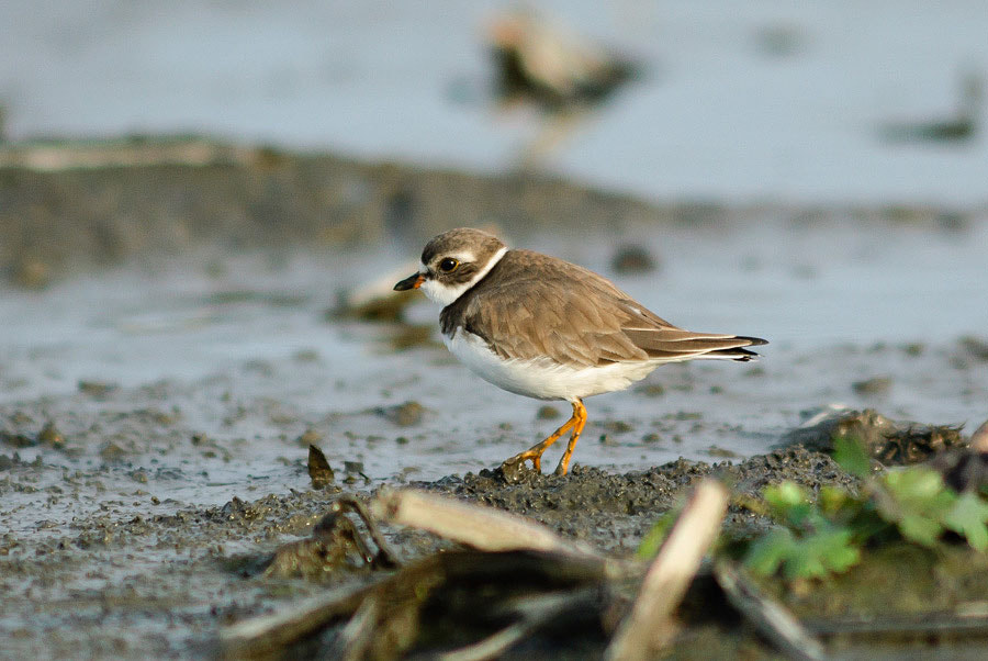 Photograph Semipalmated Plover by Yuji Nishimura on 500px