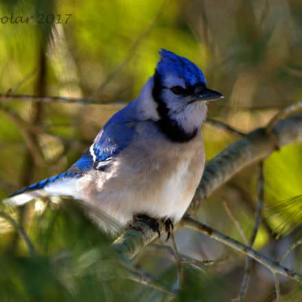 Blue Jay, Nikon D7000, PC Micro-Nikkor 85mm f/2.8D