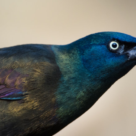 Common Grackle, Nikon D7100, Sigma APO 500mm F4.5 EX HSM