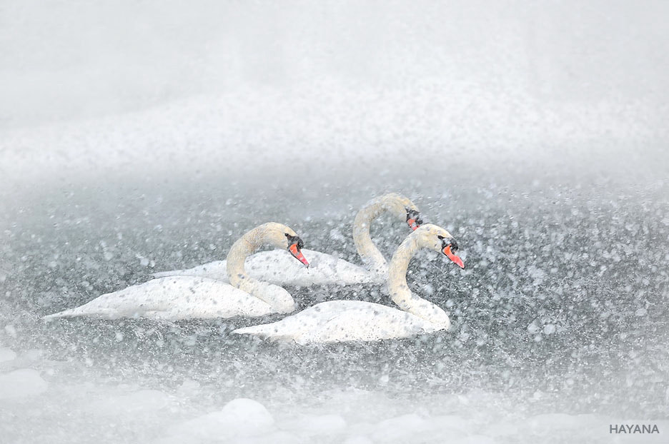 Photograph Swan lake in winter by Ryu Jong soung on 500px