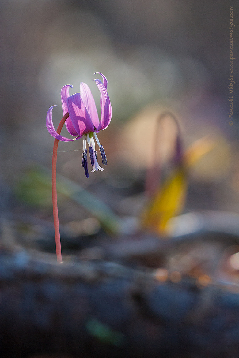Photograph Dogtooth violet by Matyas Panczel on 500px
