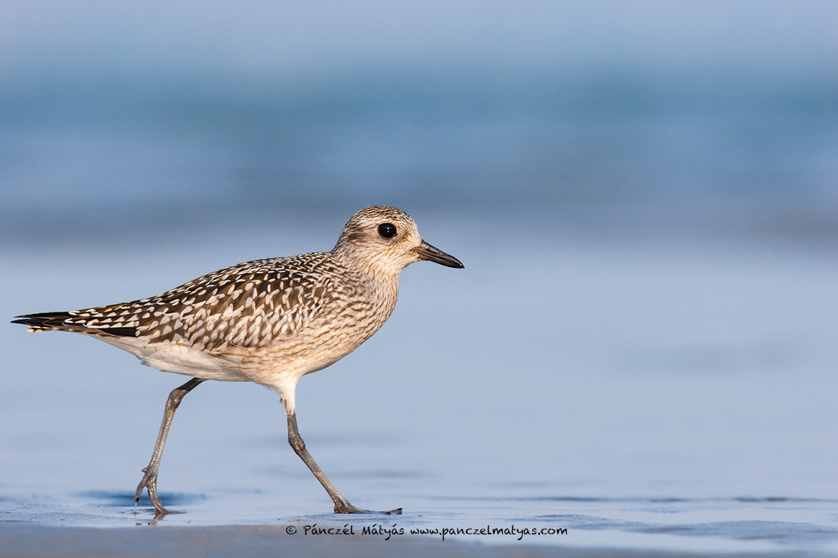 Photograph Grey plover  by Matyas Panczel on 500px