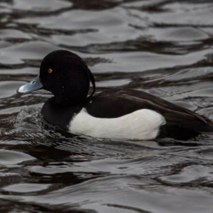 Tufted Duck, Canon EOS 50D, Sigma 50-500mm f/4-6.3 APO HSM EX