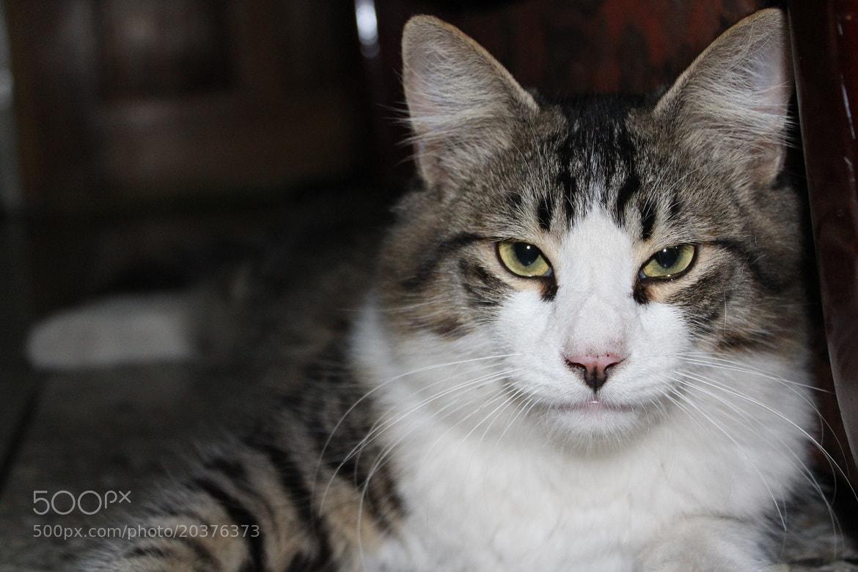 Photograph Mirada de gato. Looking Cat by Enrique Tirado on 500px