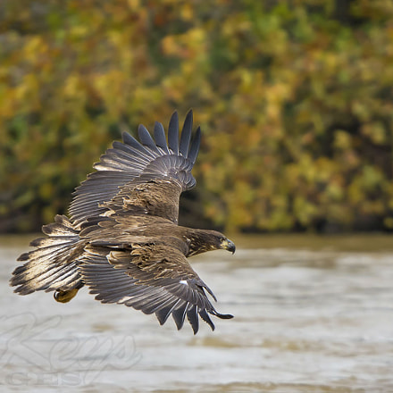 Fall (Bald Eagle), Nikon D7200, Sigma APO 500mm F4.5 EX DG HSM