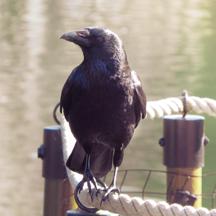 Big Black Bird, Nikon COOLPIX P100