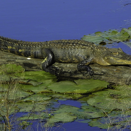 Gator sunning on the, Nikon COOLPIX P100