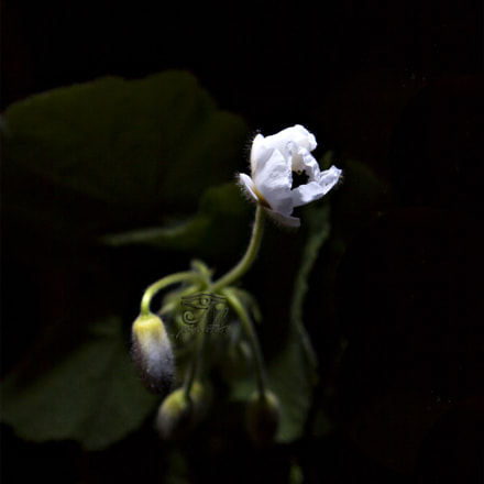 White flower, Canon EOS 50D, Canon EF 28-105mm f/3.5-4.5 USM