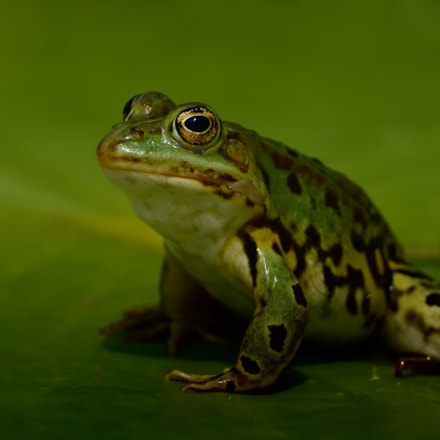 Frosch, Sony SLT-A77V, Tamron SP 70-300mm F4-5.6 Di USD