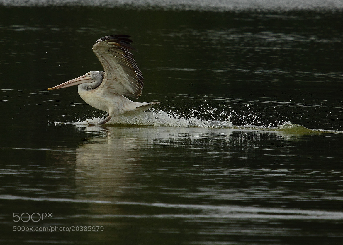 Photograph Pelican Landing by Madhusudan  on 500px