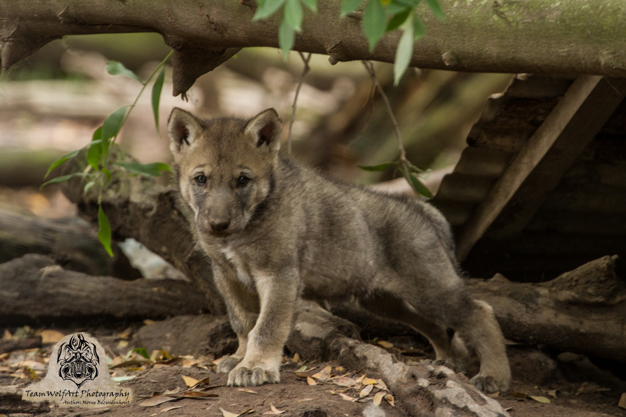 Photograph Proude wolf cub by Morne  Bezuidenhout on 500px