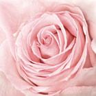 close-up of fresh pink rose
