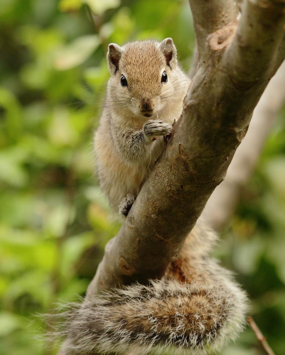 Photograph Squirrel by Madhusudan  on 500px