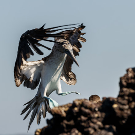 blue-footed boody, Canon EOS-1D X MARK II, Canon EF 200-400mm f/4L IS USM