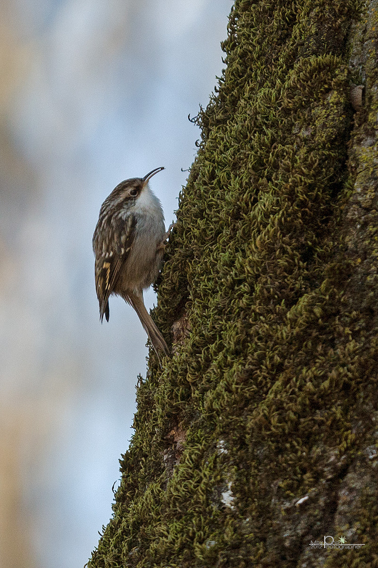 Photograph Short-toed Treecreeper (Certhia Brachydactyla) by Massimo Dadone on 500px