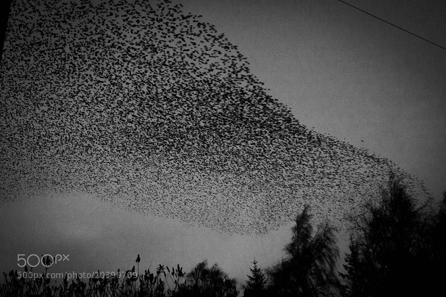 Murmuration by Katie Halsall on 500px.com