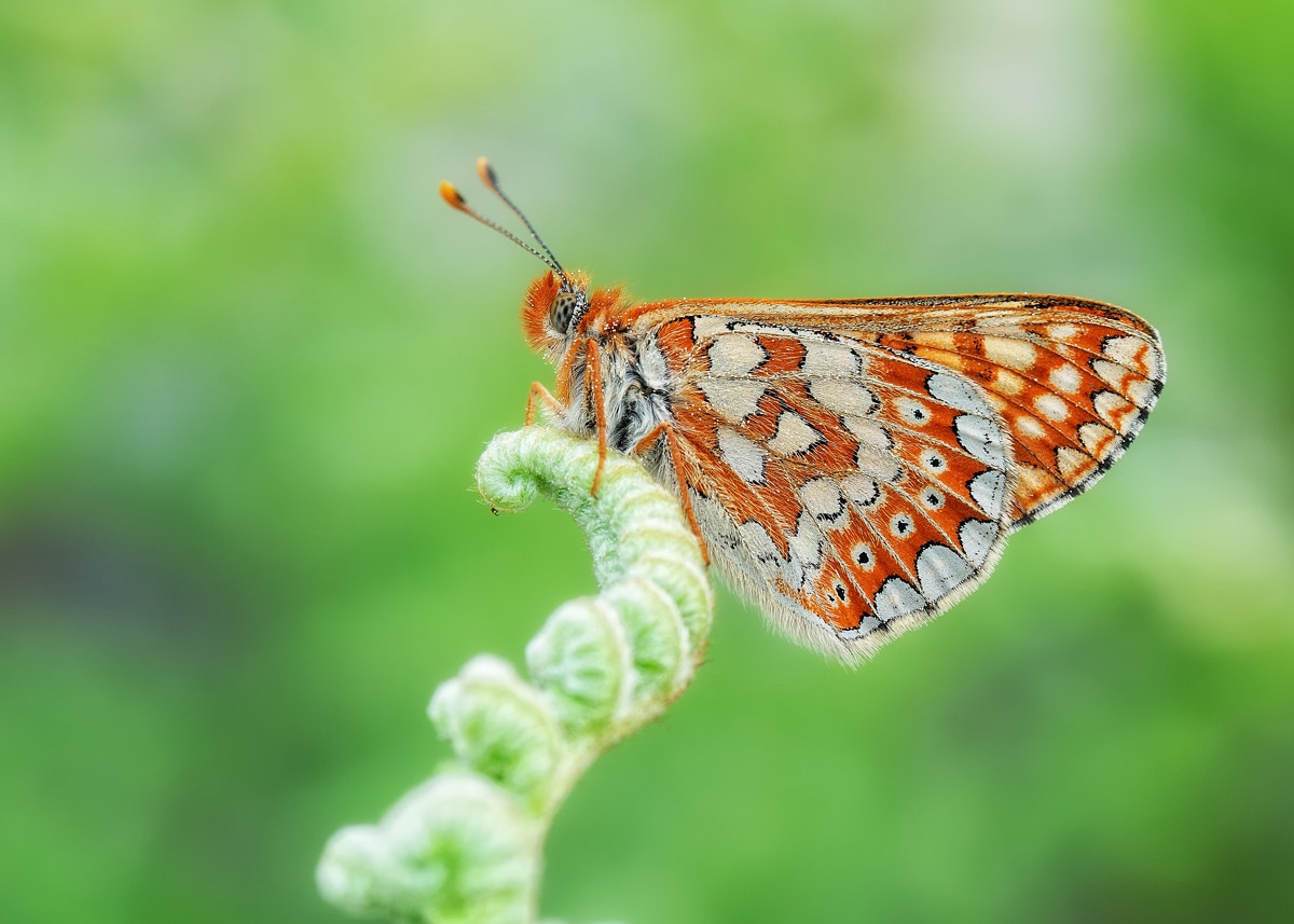 Photograph Euphydryas aurinia by Santi Vallico on 500px