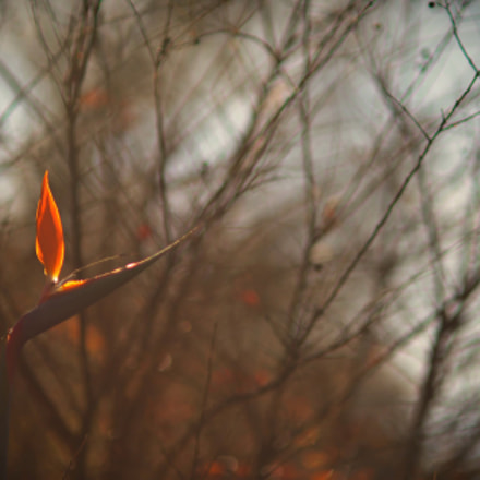flame of the forest..., Nikon D800E, AF DC-Nikkor 135mm f/2D