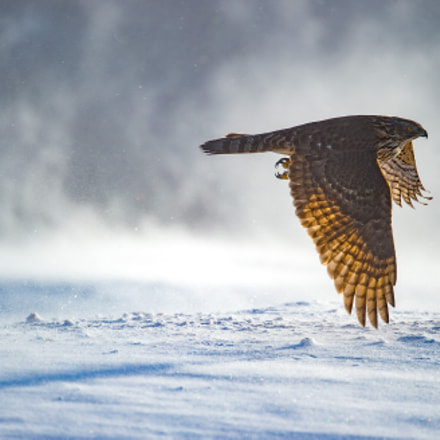 Goshawk in winter-wonderland, Nikon D4S, AF-S VR Nikkor 200mm f/2G IF-ED