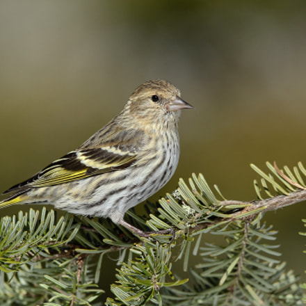 Pine Siskin, Canon EOS-1D MARK IV, Canon EF 300mm f/2.8L IS