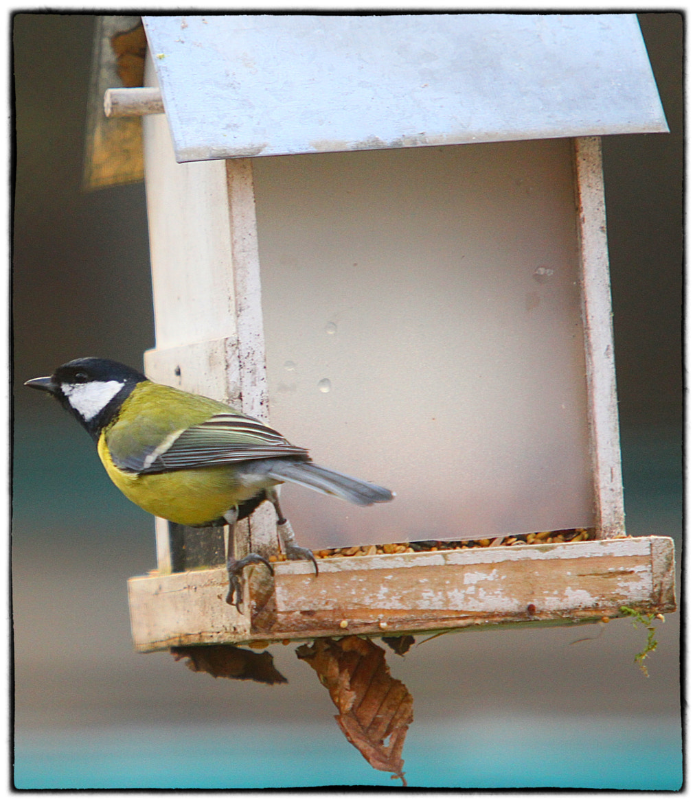 Photograph Married Tomtit by Koen Domus on 500px