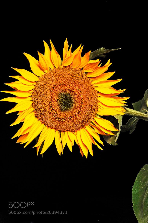 Photograph Sunflower blond by Cristobal Garciaferro Rubio on 500px