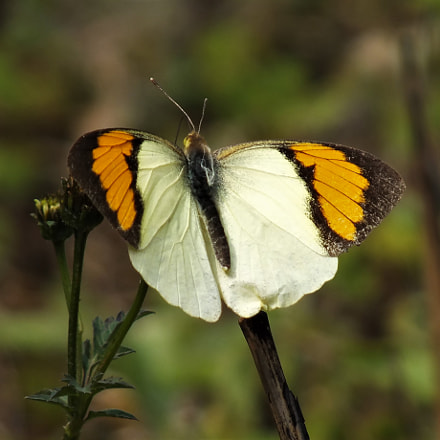 ORANGE TIP BUTTERFLY, Fujifilm FinePix HS28EXR