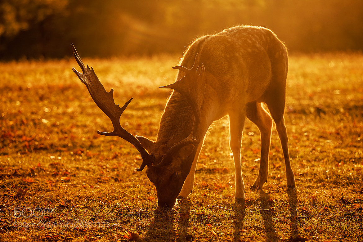 Photograph A Deers Morning Light by Sam Moore on 500px