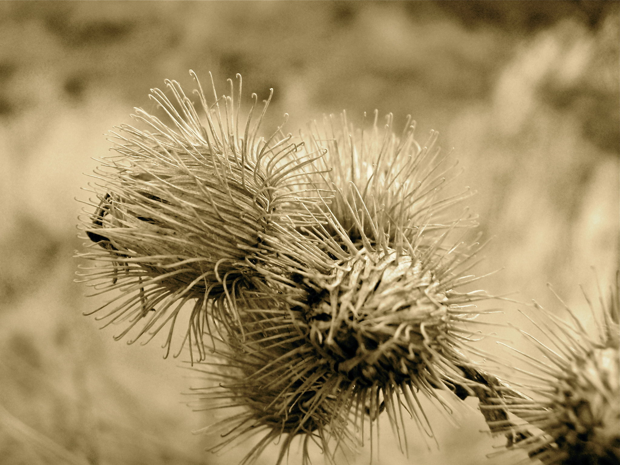 Photograph Burdock by A Cross on 500px