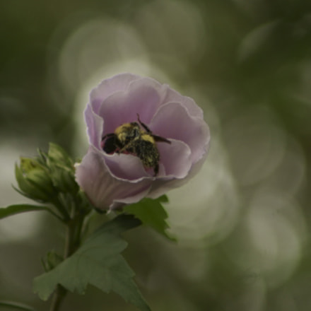 Bumble Bee Buzzzzzzz, Sony DSLR-A230, Tamron 200-400mm F5.6 LD