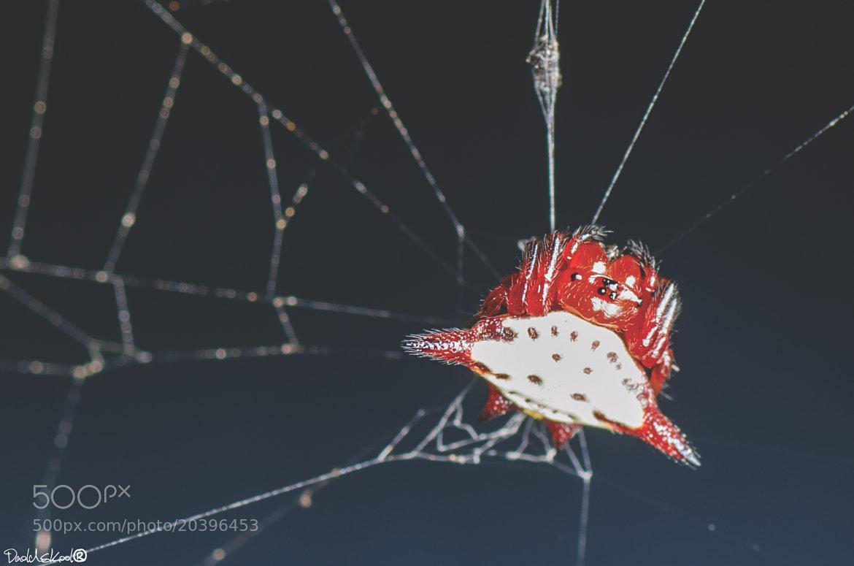 Photograph L'araignée épineuse by Daoldskool  on 500px