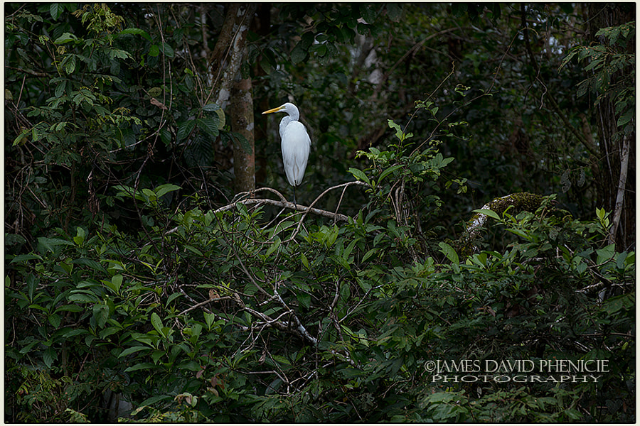 Resting Egret