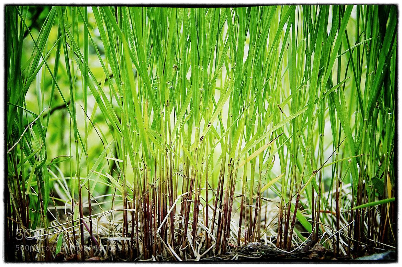 Photograph Bamboo Grass by Tye Burton on 500px