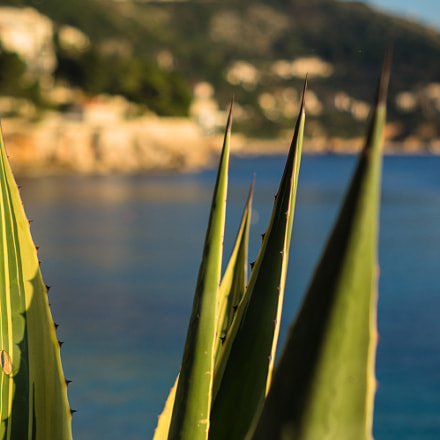 Agave in Dubrovnik, Sony SLT-A35, Sony DT 50mm F1.8 SAM (SAL50F18)