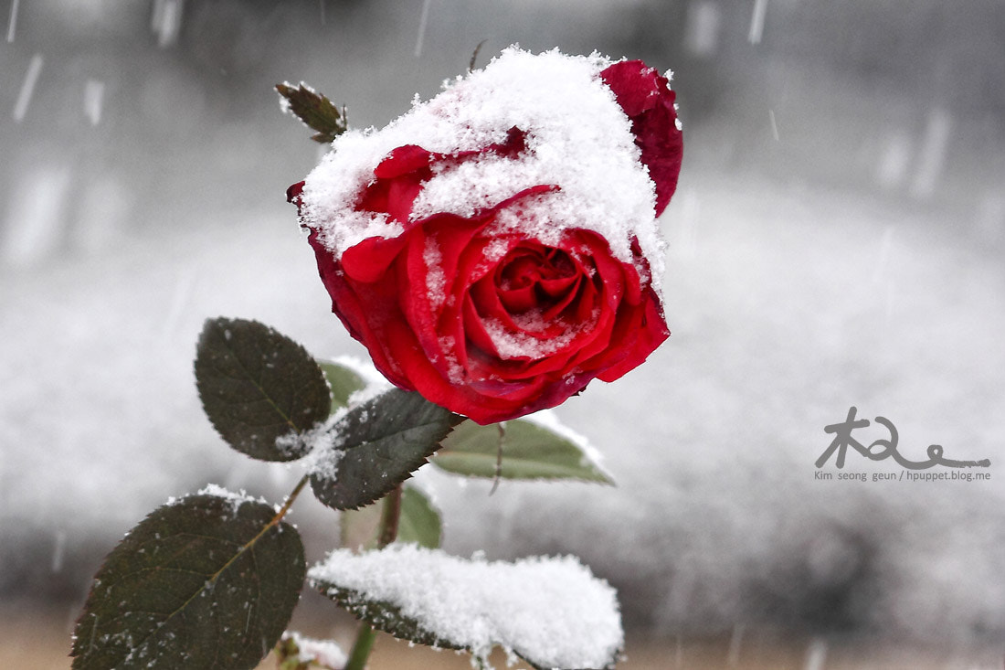Photograph Rose in the snow by kim seong-geun on 500px