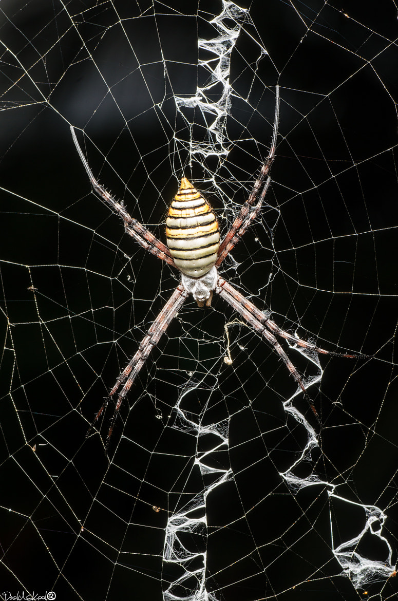 Photograph Argiope trifasciata by Daoldskool  on 500px