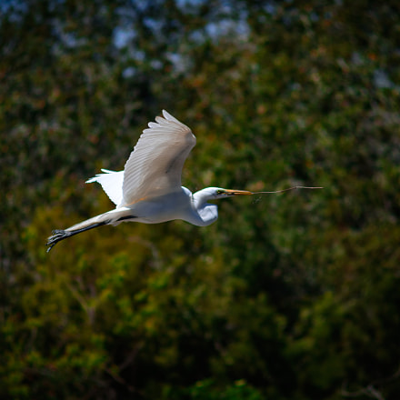 Great Egret in flight, Nikon D7100, AF Zoom-Nikkor 70-210mm f/4