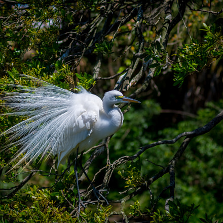 Nesting Great Egret, Nikon D7100, AF Zoom-Nikkor 70-210mm f/4