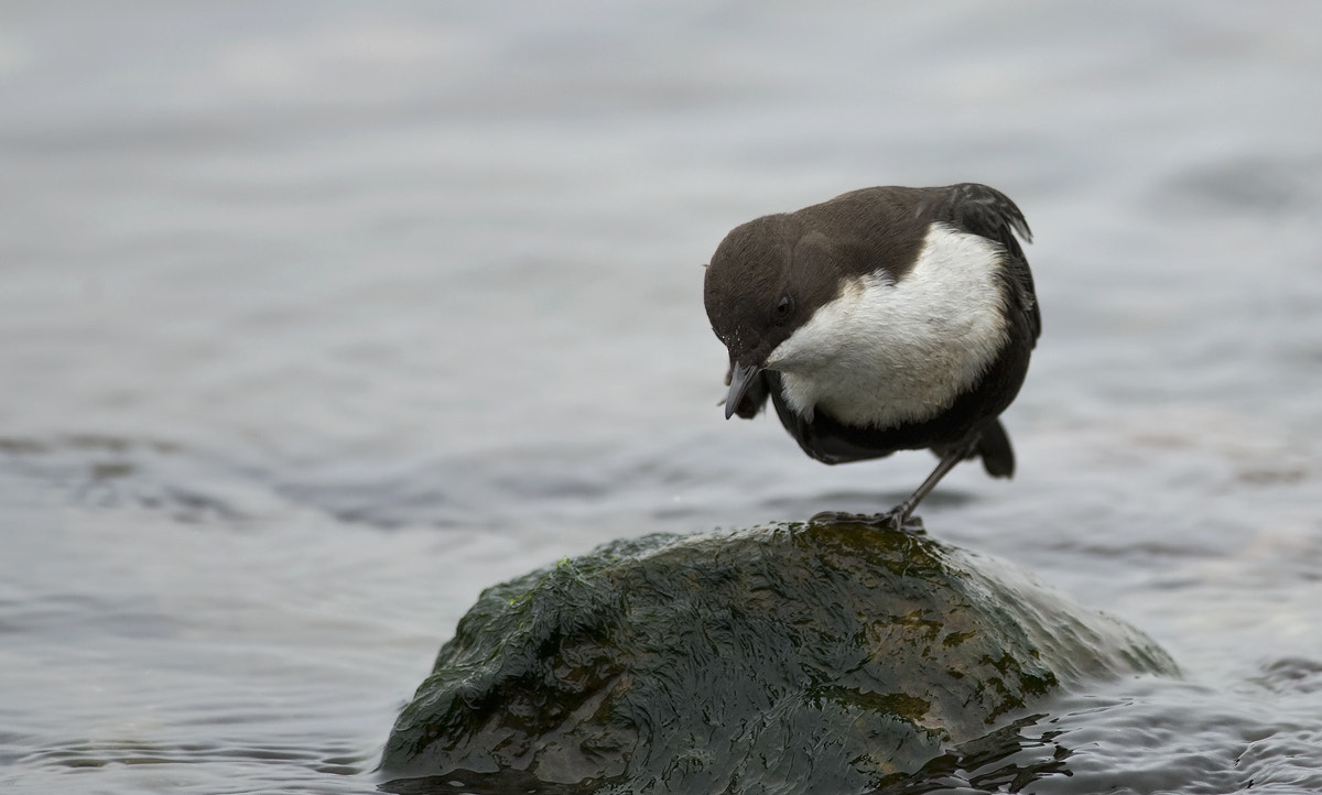 Photograph Black-bellied Dipper by Janis von Heyking on 500px