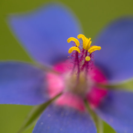 Scarlet Pimpernel, Canon EOS 60D, Tamron SP AF 180mm f/3.5 Di Macro