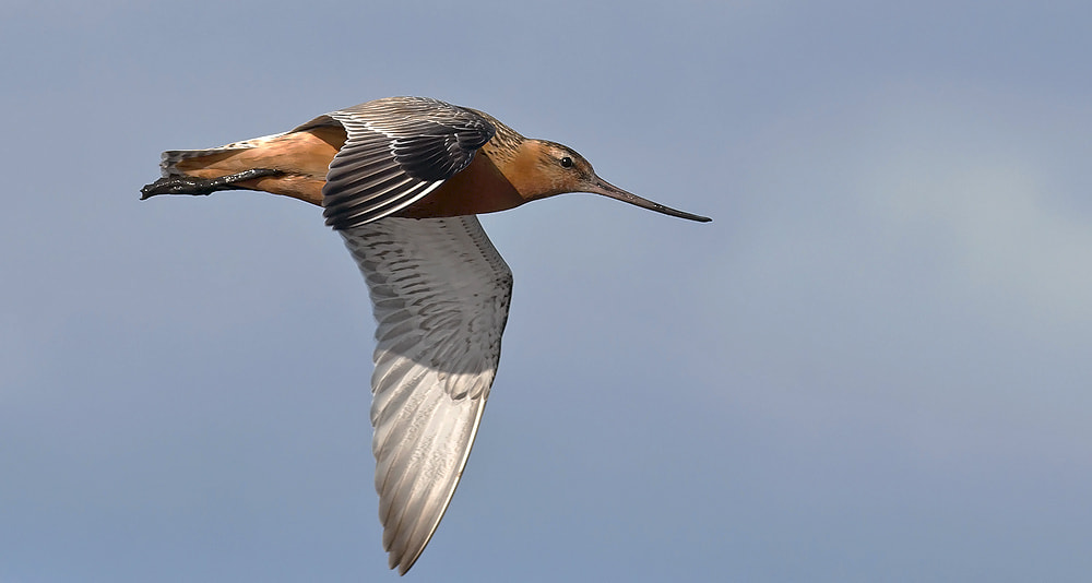 Photograph Bar-tailed Godwit by Janis von Heyking on 500px