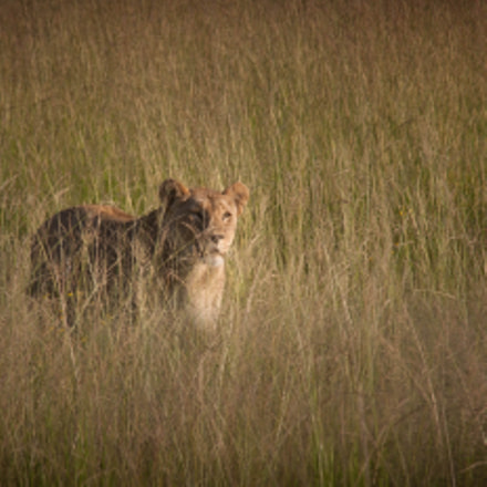 The lioness in the, Canon EOS 5D, Canon EF 75-300mm f/4-5.6 IS USM